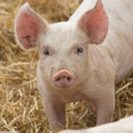Pig Farming: Starting from Scratch