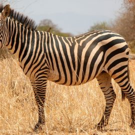 type of zebra